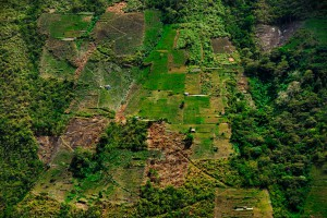 Kokafeld in Bolivien