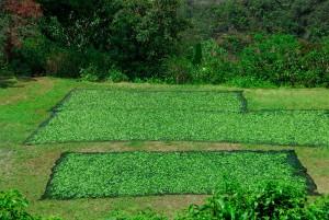 Koka Blätter werden getrocknet