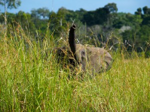 Waldelefant im Kongo