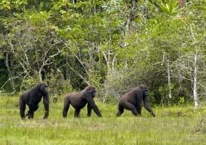 Gorillas beobachten wie sie Gräser ausreißen